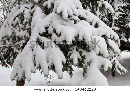 Spruce branches covered with snow #543462220