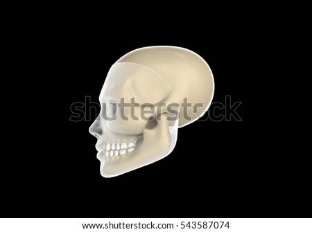 3D rendering - human skull. #543587074