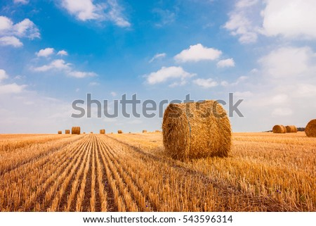 Hay bale. Agriculture field with sky. Rural nature in the farm land. Straw on the meadow. Wheat yellow golden harvest in summer. Countryside natural landscape. Grain crop, harvesting. #543596314