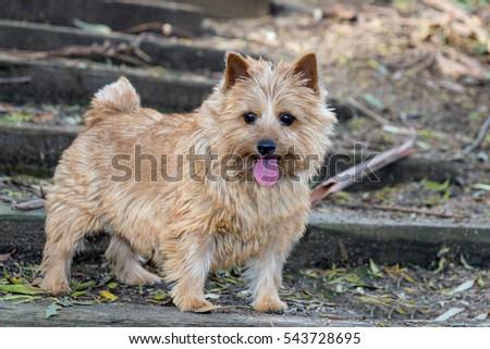 The portrait of a Norwich Terrier in a garden. Brown dog. Terrier. #543728695