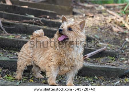 The portrait of a Norwich Terrier in a garden. Brown dog. Terrier. #543728740