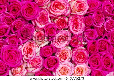 pink roses background #543775273