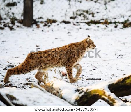lynx hunting in winter #543795859
