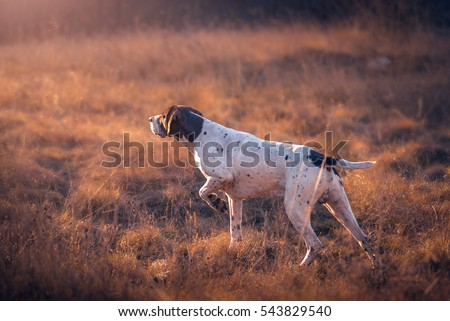 German Shorthaired Pointer hunting Royalty-Free Stock Photo #543829540