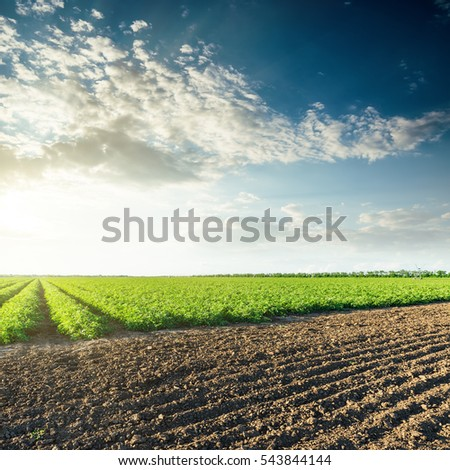 sunset in clouds over agricultural fields with green tomatoes bushes #543844144