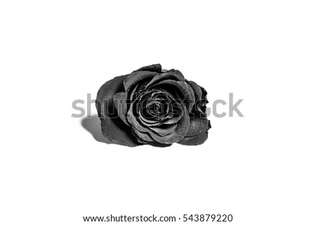 closeup of a  single rose with water drops, isolated on white background, converted in monochrome