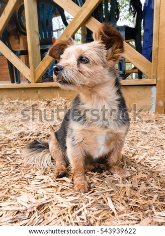 Closeup of a Terrier Shih Tzu crossbreed puppy dog with brindle coat of brown and black fur. #543939622