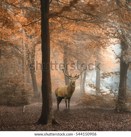 Stunning image of red deer stag in foggy Autumn colorful forest landscape image