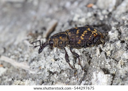 large pine weevil #544297675