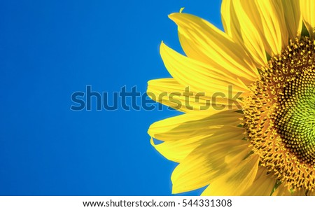 beautiful sunflower head and petals on blue sky background #544331308