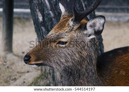 Japanese deer #544514197