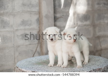 Beautiful cute Thai Bang Kaew puppy on the marble table. #544788394