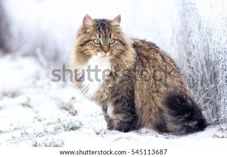 winter portrait of a beautiful Siberian cat sitting on the snow Royalty-Free Stock Photo #545113687