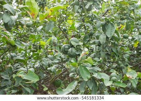 Lemons on tree #545181334