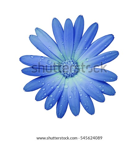 blue-turquoise flower with clipping path isolated on white  background. garden flower calendula. Closeup.  water drops. Nature. #545624089