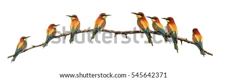 set of bee-eaters sitting on a branch isolated on white,birds of paradise, bee-eaters, rainbow colors, a group of birds. flock #545642371
