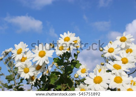 white little daisy flowers under the blue sky and clouds #545751892
