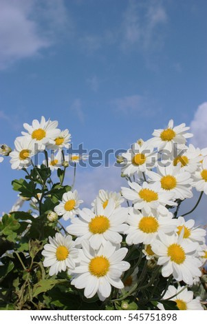 white little daisy flowers under the blue sky and clouds #545751898