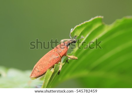 Lixus amurensis Faust on plant in the wild #545782459