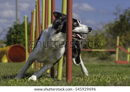 Dog agility slalom, sports competitions of dogs in the summer in Royalty-Free Stock Photo #545929696