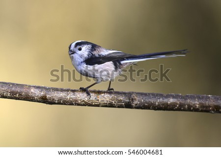 Long-tailed tit #546004681
