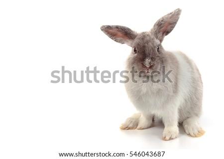 Short hair adorable baby rabbit on white background