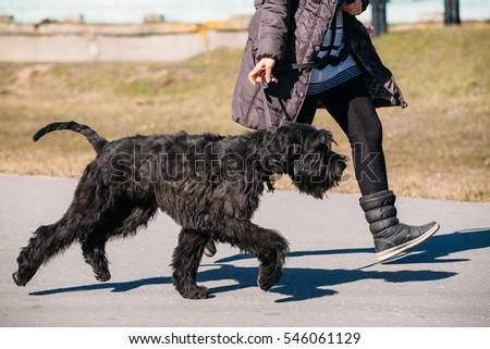 Black Giant Schnauzer Or Riesenschnauzer Dog Runs Outdoor Near Woman #546061129