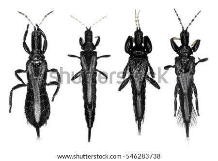Thrips (order Thysanoptera) are minute, slender insects isolated on a white background #546283738