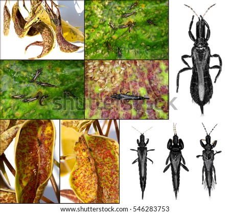 Thrips (order Thysanoptera) are minute, slender insects isolated on a white background and damage #546283753