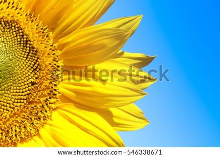 sunflower with blue sky #546338671