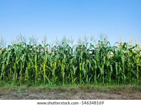 A selective focus picture of corn cob in organic corn field.
