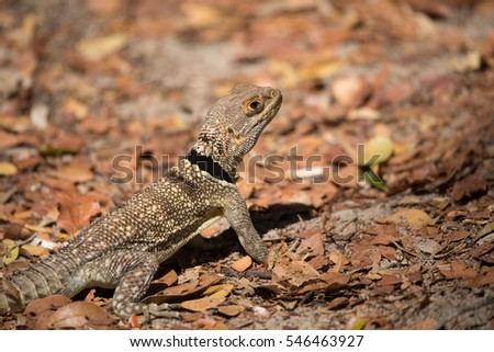 Oplurus cuvieri, commonly known as the collared iguanid lizard, collared iguana, or Madagascan collared iguana. Ankarafantsika National Park, Madagascar wildlife and wilderness #546463927