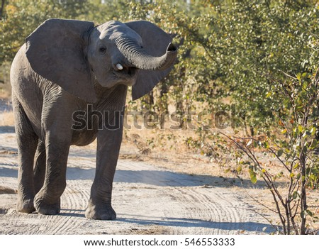 Young elephant trumpeting while standing on dirt road