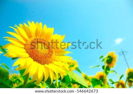 Sunflowers, JAPAN. Field of blooming sunflowers on a background blue sky. #546642673