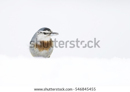 Cute little bird and winter. White snow background. Krupers Nuthatch. Sitta krueperi. Anadolu Sivacisi. Ankara Turkiye.  #546845455