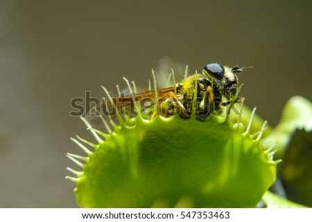 Fly is eaten by carnivorous green plant Royalty-Free Stock Photo #547353463