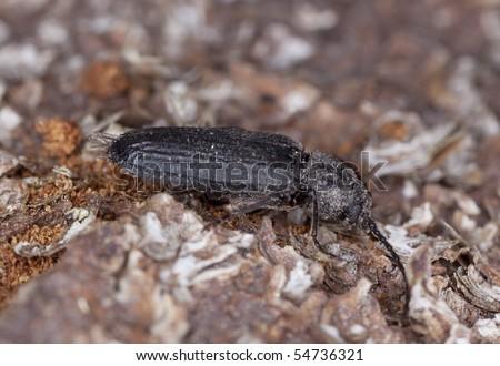 Black spruce borer (Asemum striatum) on wood. #54736321