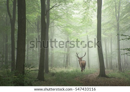 Stunning image of red deer stag in foggy Autumn colorful forest landscape image #547433116