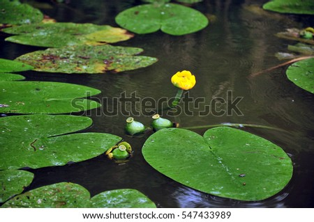baby water lily on the surface #547433989