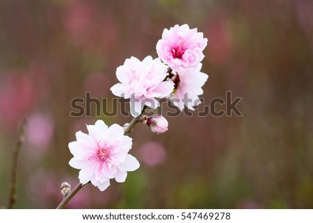 Close up Peach flower background, natural background #547469278