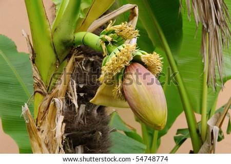 banana plant #54748774