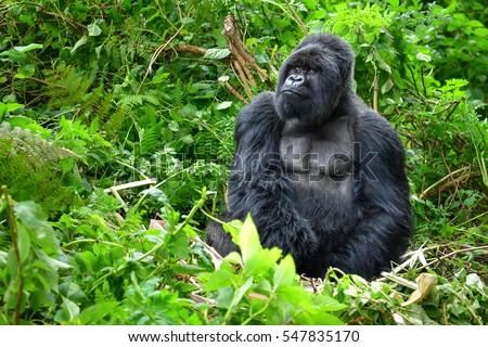A silverback mountain gorilla in a rainforest in Rwanda #547835170