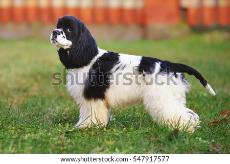 Black and white American Cocker Spaniel dog staying outdoors on a green grass in autumn #547917577