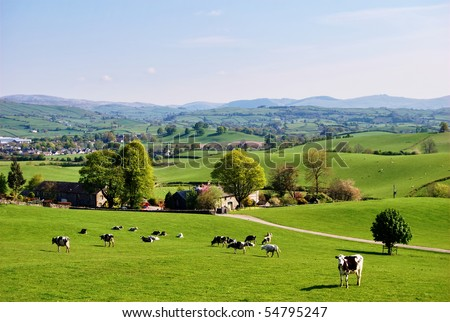 Grazing cattle on an English farm in Spring #54795247