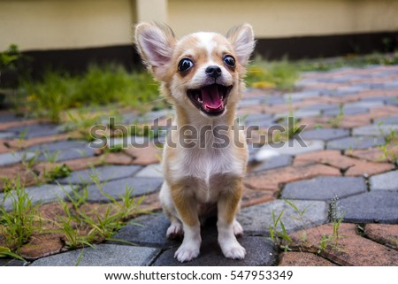 Chihuahua dog on the cement floor.