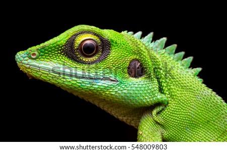 Head shot closeup of Green Crested Lizard #548009803