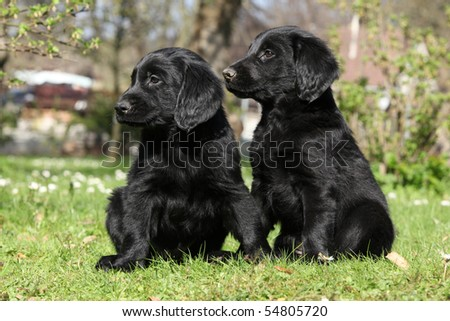 Two black puppies of flat coated retriever #54805720