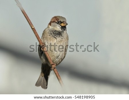 House Sparrow sitting on the branch #548198905