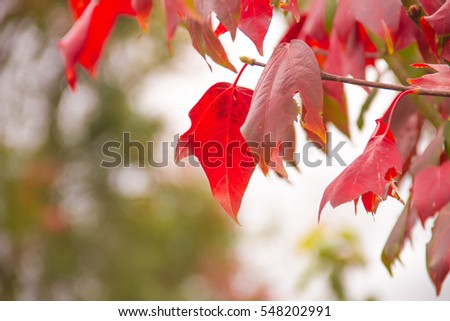 red maple tree #548202991