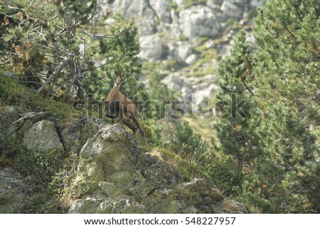 Chamois or Isard (Rupicapra pyrenaica)  #548227957